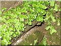 NS8146 : Liverwort at Craignethan by M J Richardson