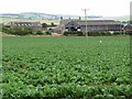 NT7626 : Cabbage field at Crookhouse Farm by Oliver Dixon