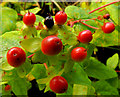 J4681 : Tutsan berries, Crawfordsburn (6) by Albert Bridge