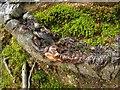 SH3331 : Gnarled hawthorn trunk by Penny Mayes