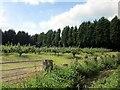 SJ5158 : Orchard off Wood Lane near Burwardsley by Jeff Buck