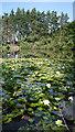 SU8964 : Water Lilies in Rapley Lake by Des Blenkinsopp