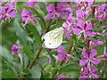 NS9176 : Green-veined White butterfly at California by M J Richardson
