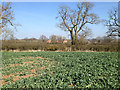 SP1365 : Patchy field of rape by Ullenhall Lane by Robin Stott