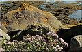 J5262 : Sea aster, Strangford Lough by Albert Bridge