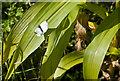 SD4916 : A Large White butterfly by Ian Greig