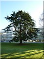 SU3814 : Tree in the grounds of the former Ordnance Survey HQ, Southampton by Alexander P Kapp