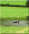 SD6394 : Sheepdog in a puddle, Thwaite by Karl and Ali