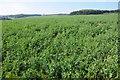 SO9638 : Crop of peas by Philip Halling