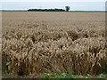 TF2118 : Wheatfield near Park Farm by Richard Humphrey