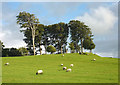 SD4980 : Sheep grazing on the earthwork, Dallam Park by Karl and Ali