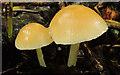 J4877 : Fungus, Clandeboye Wood near Bangor (2012) by Albert Bridge