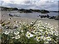 D0345 : Daisies, Ballintoy by Kenneth  Allen