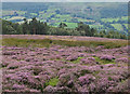 SE7495 : Heather below Hancow Road by Pauline E