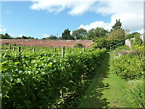 SO4465 : Vines in the walled garden by Dave Spicer