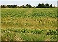TL4597 : Sugar beet field next to Rodham Road, March by Richard Humphrey