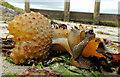 C9242 : Seaweed, Portballintrae (1) by Albert Bridge