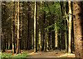 C8430 : Path, Somerset forest, Coleraine (3) by Albert Bridge
