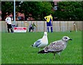 TQ6200 : Mother and child herring gull spectators, Eastbourne by nick macneill