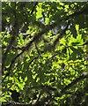 SX7189 : Oak leaves and lichen, Two Moors Way by Derek Harper