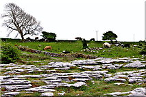 M2300 : The Burren - R480 - Poulnabrone Portal Tomb Area - Cattle Grazing on Hillside by Suzanne Mischyshyn