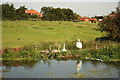SK6137 : Swans by the Grantham Canal by Richard Croft