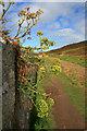 SV8910 : Rock samphire (Crithmum maritimum) by David Lally