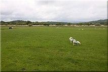 SD4774 : Sheep in a field by Steve Daniels