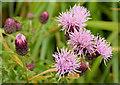 J4181 : Common knapweed, Cultra by Albert Bridge