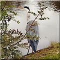 SJ9687 : Grey Heron, Peak Forest Canal by David Dixon