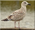 J4774 : Juvenile gull, Newtownards by Albert Bridge