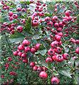 TA0323 : Hawthorn Berries by David Wright