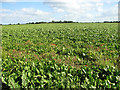 TF9731 : Poppies in sugar beet crop by Evelyn Simak