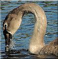 J1041 : Cygnet, Loughbrickland lake by Albert Bridge