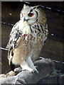SO2954 : Eagle Owl Feeding on Chick at Small Breeds Farm and Owl Centre, Kington, Herefordshire by Christine Matthews
