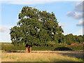 TL4101 : Oak near Fernhall Lane by Roger Jones