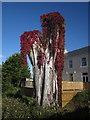 SX8767 : Virginia creeper on tree, Kingskerswell by Derek Harper