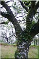 NR8655 : Oak tree with epiphytes, claonaig Wood by Rose and Trev Clough