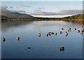 NH9609 : Mallard ducks on Loch Morlich by Walter Baxter