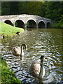 ST7733 : Stourhead: cygnets by the Stone Bridge by Chris Downer