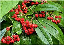 J3773 : Cotoneaster berries, Belfast by Albert Bridge