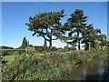 SO8963 : Pine trees alongside Westacre by Christine Johnstone