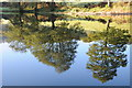 ST5099 : Mirrored trees by Philip Halling