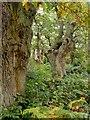 TQ1760 : Ancient pollard oaks, Ashtead Common by Stefan Czapski