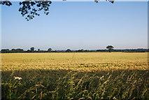 TG1408 : Ripening wheat by N Chadwick