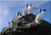 SD4364 : Razorbills on a rock by Ian Taylor