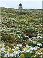 NA7246 : Flannan Isles: mayweed on Eilean Mòr by Chris Downer