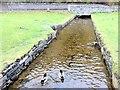 NN8765 : Ducks on the stream by Andrew Abbott