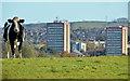 J3268 : Cattle, Minnowburn, Belfast (5) by Albert Bridge