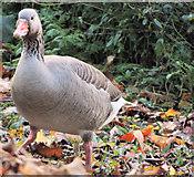 J4774 : Greylag geese, Kiltonga, Newtownards (6) by Albert Bridge